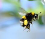 White_Tailed_Bumble-bee_-_Bombus_lucorum