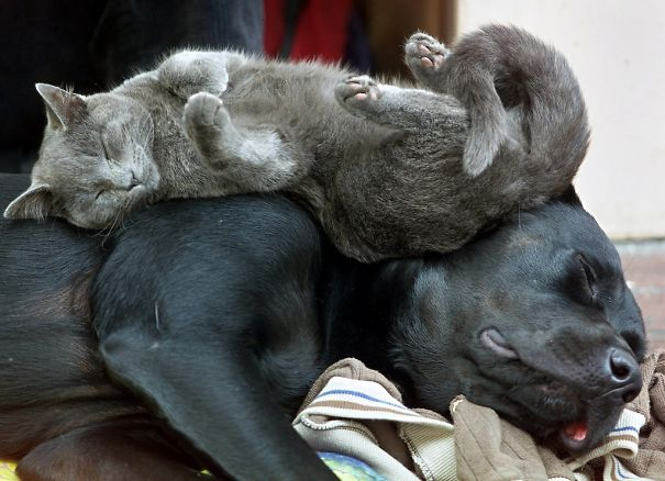 cute-cats-sleeping-on-dogs-2__605